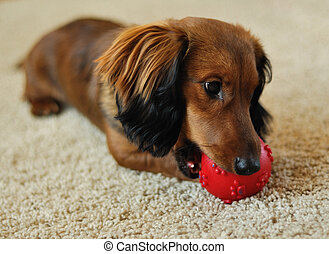 A long-haired miniature dachshund playing with red ball