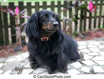 Dachshund Portrait Outdoors - Portrait of an adorable...