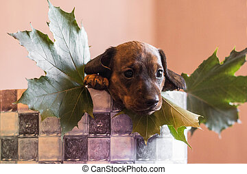 Dachshund pup in a checkered basket with maple leaves