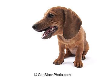 Dachshund puppy, 3 months old - 3 months old dachshund ...
