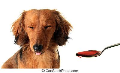 Dachshund puppy and medicine. - Longhair dachshund puppy...