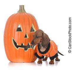 dachshund puppy at halloween