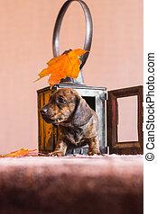Dachshund puppy climbing out of autumn lantern
