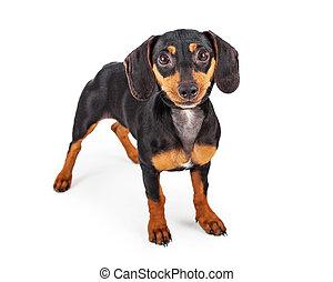 Dachshund Puppy Dog Standing Lookng Forward