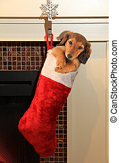 Dachshund puppy in christmas stocking.