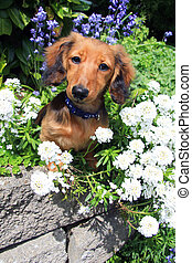 Dachshund puppy in the garden. - Longhair dachshund puppy...