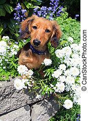 Dachshund puppy in the garden. - Longhair dachshund puppy...