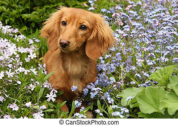 Dachshund puppy outside surrounded by flowers.