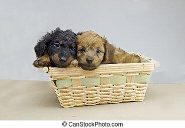 dachshund puppy pair