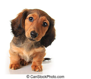 Dachshund puppy - Longhair dachshund puppy studio isolated...