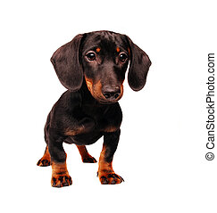 Dachshund puppy isolated on white