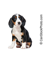 Dachshund puppy, Westphalian Dachsbracke on white background