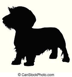 dachshund, purebred hond, wirehaired