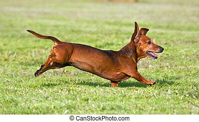 Dachshund running on green grass in sunshine