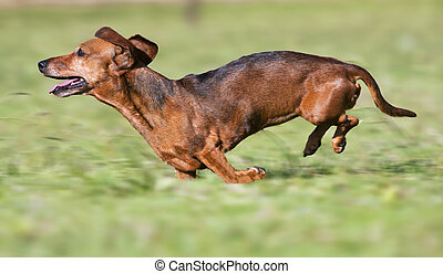 Dachshund running on green grass in sunshine