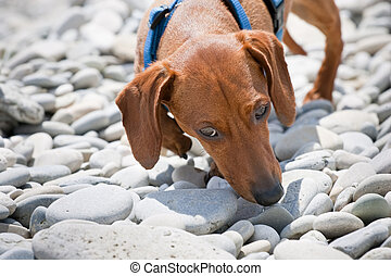 Dachshund sniffing on rocky beach - Closeup of the head of a...