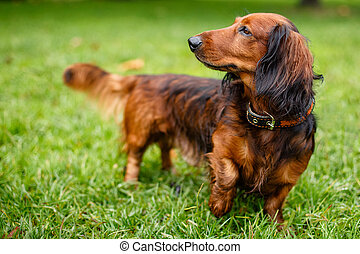 Dachshund stands in the green grass
