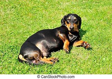 Dachshund - Beautiful view of the small black dachshund