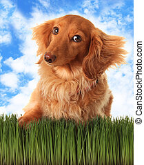 Dachshund - Longhair dachshund with attitude, outside in the...