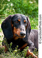 Dachshund - Close up portrait of a black and brown dog...