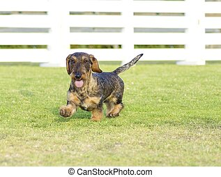 A young beautiful dapple black and tan Wirehaired Dachshund walking on the grass. The little hotdog dog is distinctive for being short legged with a long body, pointy nose and narrow build.