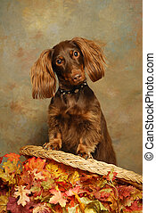 dACHSHUND WITH aUTUMN lEAVES