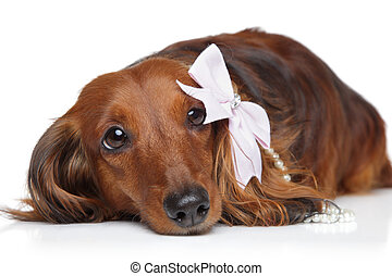 Dachshund with bow on a white background