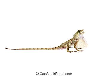 Dactyloa latifrons on white - Dactyloa latifrons lizard...