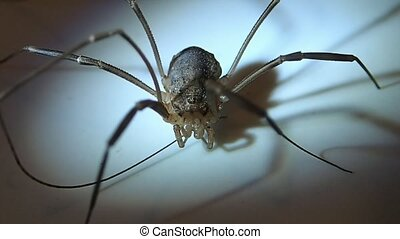 Daddy long legs arachnid - A daddy long legs arachnid