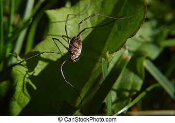 Daddy long legs - A close up of a daddy long legs spider.