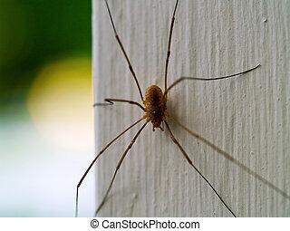 Daddy Longleg Spider - A daddy longleg spider macro close up