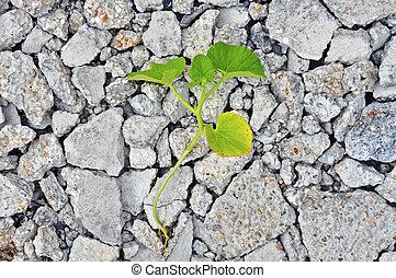 dado, concret, por, grieta, crecer, semilla