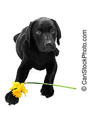 daffodi, chiot, paques