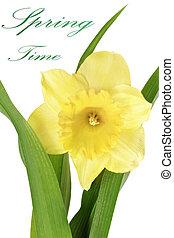 (daffodil), 黃色, flower:, 單個, 春天, 水仙, 美麗