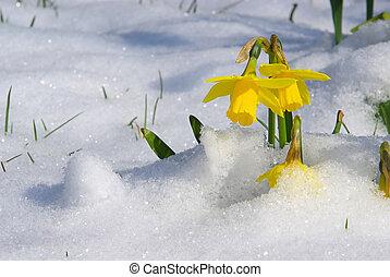 daffodil 02