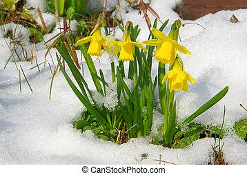 daffodil 13