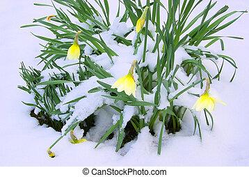 daffodil 16