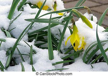 daffodil 17