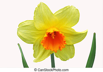 Daffodil 2 - Isolated close-up of a daffodil
