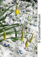 daffodil 20