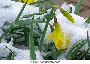 daffodil 21