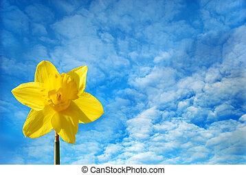 Daffodil against a blue sky