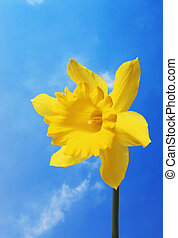 Daffodil against sky