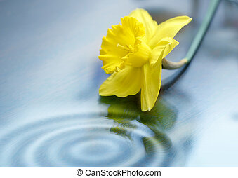 Daffodil and Ripples - Daffodil blossom and ripples.