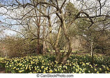 daffodil carpet - daffodils growing around a tree