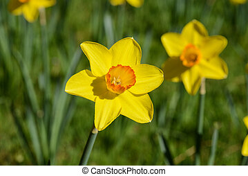 Daffodil close up