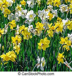 Daffodil flowers in a garden