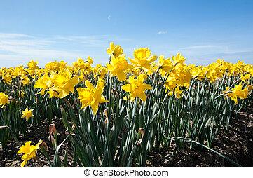 Daffodil Flowers in Flower Field Landscape