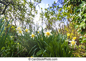 Daffodil flowers in white colors