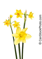 Daffodil flowers isolated